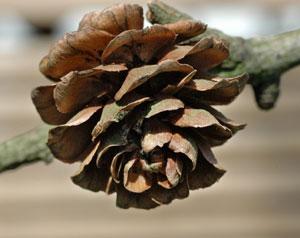 cone-larch