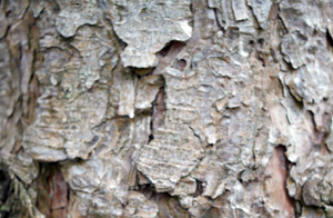 corsican bark