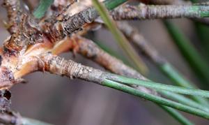 corsican-needles