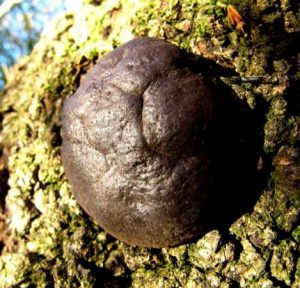 The Monthly Mushroom: Candlesnuff Fungus (Xylaria hypoxylon)