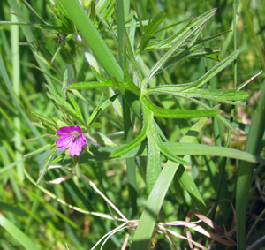 cut-leaved-cranesbill