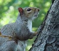 Damage by Grey Squirrels