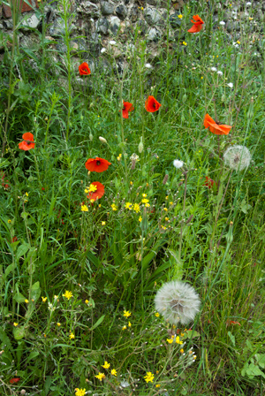 The loss of arable plants