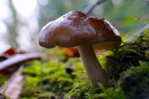 June's Monthly Mushroom: Deer Shield mushroom (Pluteus cervinus)