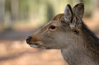 Deer Management (Deer Control) in Woodlands