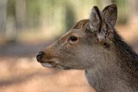 Deer Management (Deer Control) in Woodlands