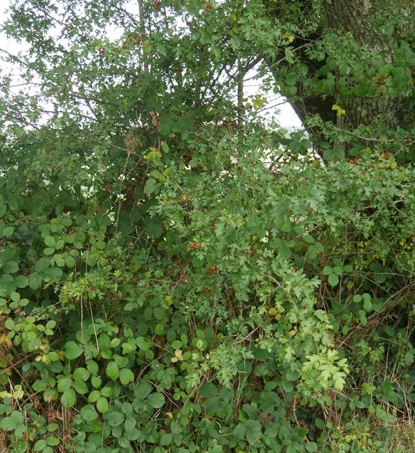 devon-hedge