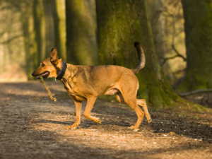 Stick and flick, a possible solution to dog mess in woodlands?