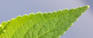 dogs leaf