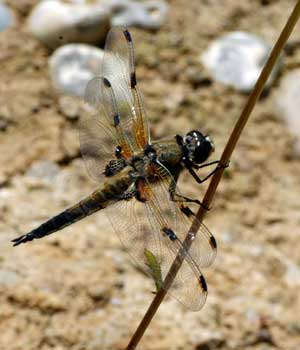 Dragonflies and Damselflies…….