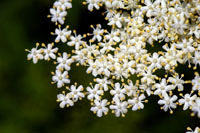 Elder (Sambucus nigra) - Elder Lore and Elderflower Recipes