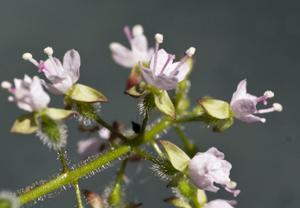 enchanters flowers 2