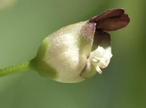 figwort flower 2