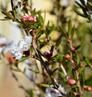 Leptospermum Image by sixmique from Pixabay