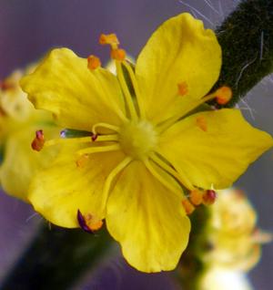 flower agrimony