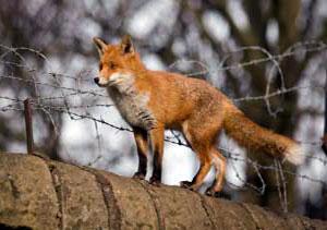 Roadkill : rabbits, hedgehogs, foxes......
