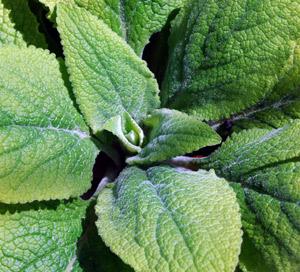 foxglove-leaves rosette