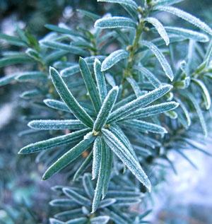 frosty-yew-1