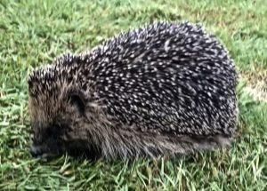 Hedgehog havens ?