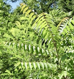 ailanthus leaves