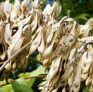 seeds of Ailanthus