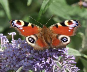 The 2017 Big Butterfly Count