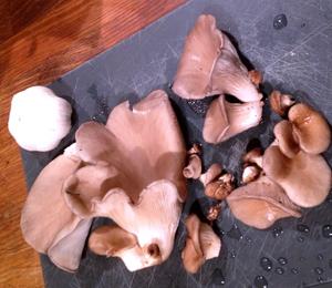 The Monthly Mushroom: Oyster Mushrooms (Pleurotus ostreatus)