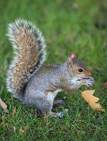 How did the grey squirrel arrive in the UK?