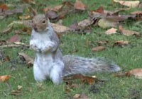 Grey Squirrel Damage - a video presentation with Julian Evans