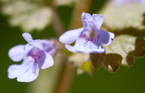 ground-ivy-2