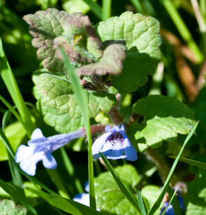 Ground Ivy or Alehoof