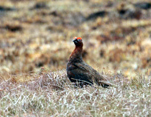 Moorland fires and grouse