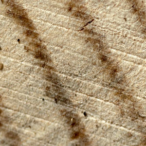 Woody tissues : bark