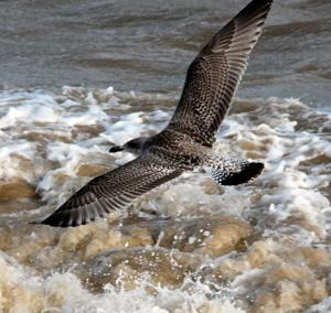 gull-over-sea