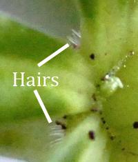 hairs woodruff