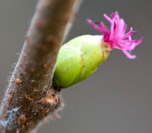 female flower with style / stigma protruding