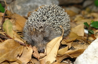 Helping Hands for Hedgehogs