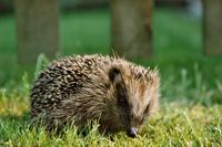 Hedgehogs & Phenology