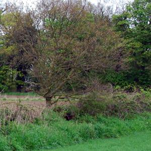 hedgerow-in-field