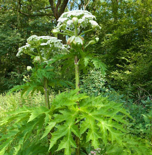 The Giant Hogweed - a losing battle?