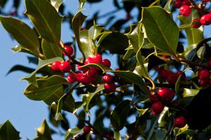 Holly - a really useful tree