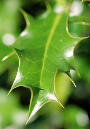 Leaf from Holly Tree