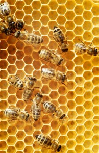 Threats to the Honeybee