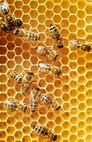 Threats to the Honeybee