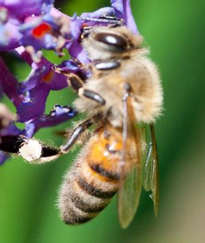 Biting bees