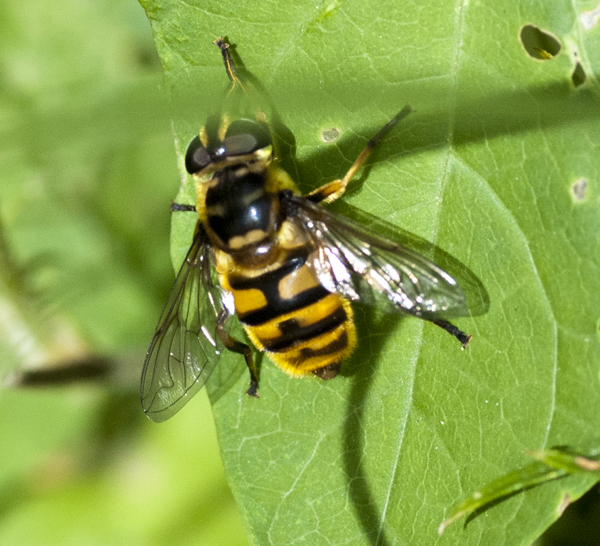 hover-fly-2