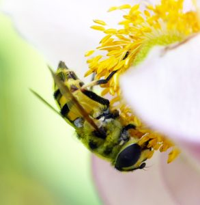 In praise of hoverflies