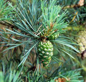 immature pine cone