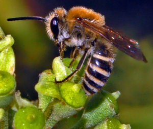 An autumnal bee  - the Ivy Bee,  Colletes hederae.