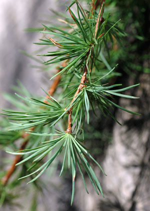larch-leaves